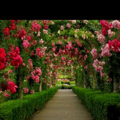 Boxwood hedges and climbing roses make a beautiful walkway.
