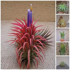 TILLANDSIA IONANTHA: Plants start green and when mature blush red and produce purple tubular flowers(See mature red plant in photo). SIZE: Tillandsia ionantha are a wonderful miniature form of tillandsia. Red Plants, Live Plants, Bees And Wasps, Humming Bird Feeders, Plant Care, Houseplants, Monet, Outdoor Gardens, Indoor Gardening