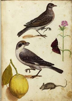 Ulisse Aldrovandi, Specimen of nature, tavole 004, Unico. Watercolor. University of Bologna