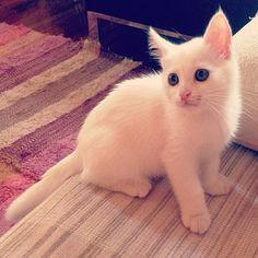 Our New Fluffy White Kitten #Cute
