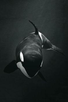 Free desktop wallpaper downloads whale langdon robertson 2016 12 orcinus orca killer whale altavistaventures Image collections