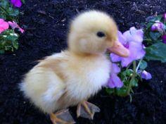 precious tiny duckling
