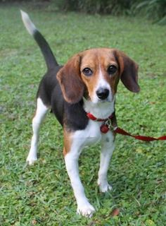 Check out Leah's profile on AllPaws.com and help her get adopted! Leah is an adorable Dog that needs a new home. https://www.allpaws.com/adopt-a-dog/beagle/3813417?social_ref=pinterest