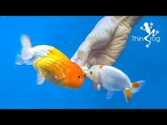 4 Best Goldfish Foods - YouTube Pet Dogs, Dog Cat, Pets, Goldfish Food, Egg Tofu, Aquarium Fish, Aquarium Ideas, Fish Care, Rich In Protein