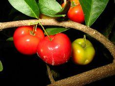 Acerola ou cerise des Antilles