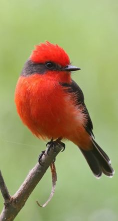 Vermilion Flycatcher, Most Beautiful Birds, Tiny Bird, Bird Pictures, World Of Color, Colorful Birds, Animals Of The World, Wild Birds, Bird Watching
