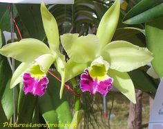 Green Cattleya Orchid Flower Picture