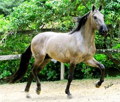 The Campolina Horse is a gaited breed used mainly for riding. Information giving the origin, the horses physical features, temperament, uses, and the status of the Campolina. Campolina, Horse Profile, Most Beautiful Horses, All About Horses, Clydesdale, Trail Riding, France, Horse Saddles, Horse Pictures