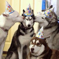 Birthday kisses for the Husky Birthday Boy Hope you're doing well. Animals And Pets, Baby Animals, Funny Animals, Cute Animals, Cute Puppies, Cute Dogs, Dogs And Puppies, Doggies, Beautiful Dogs