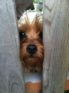 Cooper #yorkshireterrier