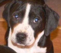 "SAGE is a 10 week old, 9 lb female Bluetick Coonhound mix. Very friendly w/ people & submissive w/ other dogs. Foster mom says ""Sage is the most assertive of the litter – she is always the first to come get some loving! She pushes up to the front of the pack as if to say ""look at me!"" Sage has less of the blue-ticking and more black & white than her littermates. Current on age appropriate vaccines.  Please visit our website WWW.LULUSRESCUE.COM and click on the ADOPT tab to apply!"