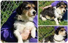 Hanover, PA - Petit Basset Griffon Vendeen/Parson Russell Terrier Mix. Meet BEN ~ SO GENTLE, a dog for adoption. http://www.adoptapet.com/pet/18015516-hanover-pennsylvania-petit-basset-griffon-vendeen-mix