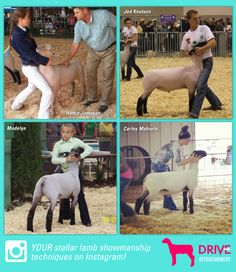 Tips for showing lambs