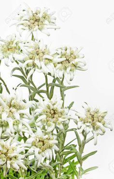 14551926-Blooming-Edelweiss-Flower-Leontopodium-alpinum--Stock-Photo-edelweiss.jpg (831×1300)