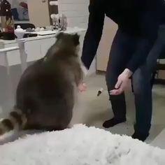 Raccoon just wants to hug his human - Cutest Baby Animals Cute Little Animals, Cute Funny Animals, Cute Cats, Adorable Kittens, Cute Animal Videos, Funny Animal Pictures, Cat Facts, Animal Memes, Animals Beautiful