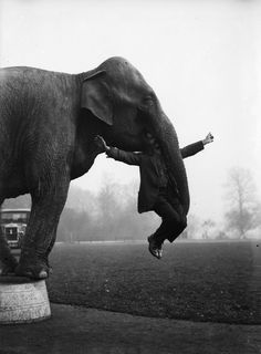 elephant from Whipsnade Zoo performs part of her repertoire learnt with Bostock's Circus with her keeper George Braham.