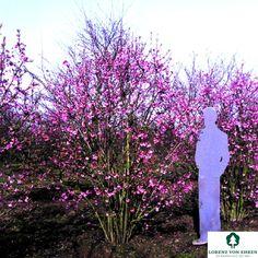 "VID -Viburnum bodnantense ""Dawn"" Cottage Garden Plants, Garden Soil, Architectural Plants, Early Spring Flowers, Fresh Green, Landscaping Ideas, Light In The Dark, Shrubs, Dawn"