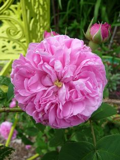 'Gros Choux d'Hollande' | Centifolia rose. Bred by Unknown (before 1589). | Flickr - © Charles Dean