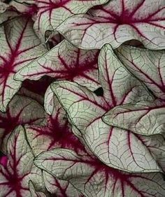 Caladium My all time favorite