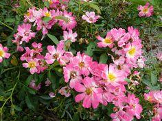 Pink Drift Rose - Rosa 'Meijocos'