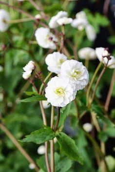 Far Reaches Farm Part Three; Ranunculus aconitifolium Florepleno