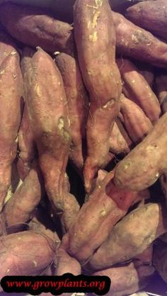 Sweet potato plant - How to grow & care Sweet Potato Plant, Growing Sweet Potatoes, Cucumber, Plants, Food, Essen, Meals, Plant, Yemek