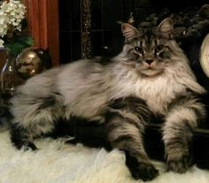 Teetonka. Maine Coon cat