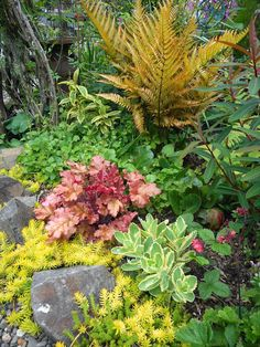 Gardening With Grace: Heuchera 'Marmalade' with Autumn Fern (Dryopteris erythrosora 'Brilliance') various Sedums and a few blooms of Geum 'Flames of Passion' Autumn Fern, Partial Shade Plants, Hosta Gardens, How To Attract Birds, Heuchera, Planting Bulbs, Garden Photos, Acanthus, Front Yard Landscaping