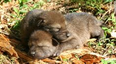 Wolf center names pup in honor of Blues' victory Beautiful Creatures, Animals Beautiful, Beautiful Babies, Wolves Fighting, Baby Animals, Cute Animals, Wild Animals, Wolf Pictures, Beautiful Wolves