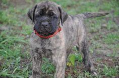 Mastiff pup