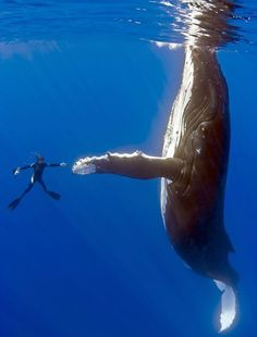 Incredible photo. Love how you can see the sheer size of the whale in comparison with the diver!