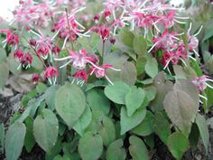 Epimedium.  Full shade to partial sun ground cover.  Blooms late spring to summer.  Moderate growth to 1' tall.  Spreads by underground stems.  Divide clumps every 2 to 3 years.