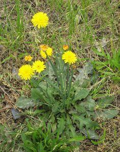 False Dandelion - (Hypochoeris radicata) AKA common cat's ear, cat's ear dandelion, hairy cat's ear http://www.illinoiswildflowers.info/weeds/plants/rgh_catear.htm