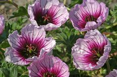 Geranium (Cinereum Group) Thumbling Hearts - Veined lilac-pink flowers with a dark eye cover this low-growing perennial in late spring. It makes wonderful groundcover that will help supress weeds towards the front of the border, or dot it in naturalised clumps through alpine screes.
