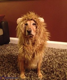 Lion-Dog 10 Dogs Disguised As Other Animals For Halloween Diy Halloween, Lion Halloween Costume, Halloween Couples, Group Halloween, Halloween 2018, Halloween Makeup, Dog Lion Costume, Fantasia Diy, Akira