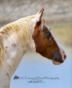 Pretty Horses, Beautiful Horses, Equestrian Memes, Horse Profile, Wild Mustangs, Appaloosa, Equine Photography, Wild Hearts, Wild Horses