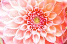 Fall mums macro by Kay English on Fall Mums, Website Images, Dahlia, Landscaping, English, Plants, Flowers, Yard Landscaping, English Language