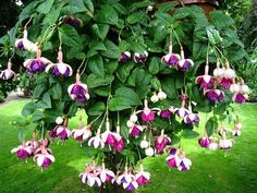 Annual Flowers for Beginners- Selecting the Right Ones for Your Home - Trillium Living Garden Beds, Garden Plants, Fuchsia Flower, Hanging Flower Baskets, Special Flowers, Annual Flowers, Language Of Flowers, Plantar, Garden Gifts