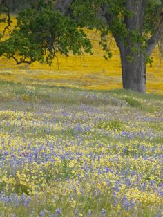 size: Photographic Print: Lone Oak and Spring Wildflowers, San Luis Obispo County, California, USA by Terry Eggers : Artists California Wildflowers, Spring Wildflowers, Spring Images, San Luis Obispo County, Floral Photography, Frames On Wall, Wild Flowers, Fields, Framed Art