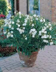 Afbeeldingsresultaat voor oleander wit