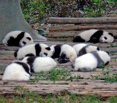 sleeping panda babys