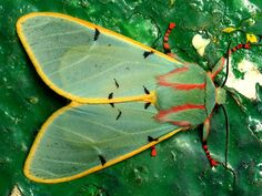 tiger moth with red striped socks, chlorhoda tricolor