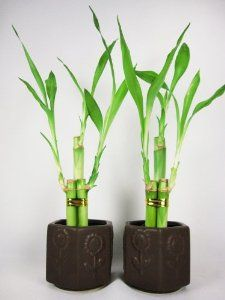 - Live 3 Style Party Set of 2 Bamboo Plant Arrangement w/ Ceramic Vase by -- Awesome products selected by Anna Churchill Bamboo House Plant, Lucky Bamboo Plants, House Plants, Indoor Garden, Indoor Plants, Diy Hanging, Live Plants, Ceramic Vase, Plant Decor