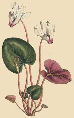 44. Cyclamen persicum. Persian Cyclamen.