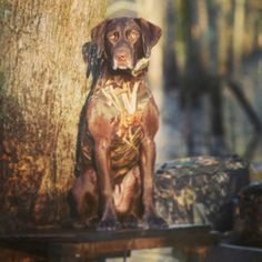 Ready for some action #duck #hunting #hunt #waterfowl #water #nature #dog #dogs #lab #chocolate #gandermtn #gandermountain #weliveoutdoors