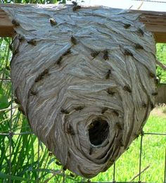 Fill out our handy form to tell us a little more about your nest and needs. We only collect LIVE, UNSPRAYED nests, so remember to hold the pesticides! Wasp Nest, Types Of Insects, You Are Home, Lion Sculpture, Nests, Bugs, Animal, Architecture, Arquitetura