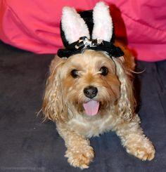 Sadie is Ready for Mad Hatter Day! - YourDesignerDog
