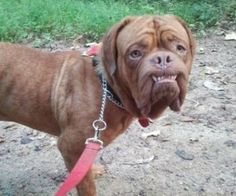 Barry in NC is an adoptable Dogue De Bordeaux Dog in Charlotte, NC. Barry is 15-18 month old neutered male. He is up to date on shots, heartworm negative, micro chipped and almost ready to go! He is a...