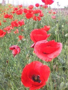Маки цветут,Украина,о.Шафран.