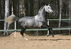 Latvian Warmblood - photos - equestrian.ru
